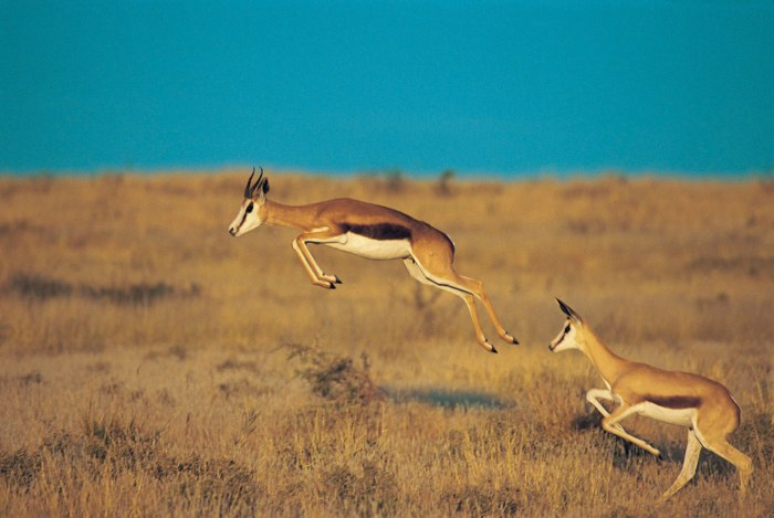 South Africa's national animal - the springbok.